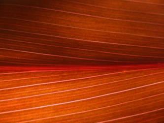 Sunthrough: Cordyline fruticosa by PiterKeo