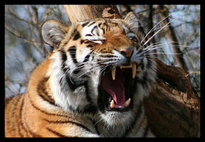 Yawning tiger by AF--Photography