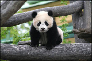 Fu Long - baby panda by AF--Photography