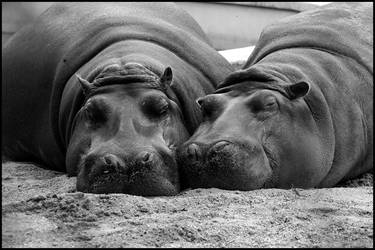Hippo togetherness by AF--Photography