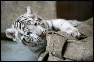 White cub by AF--Photography