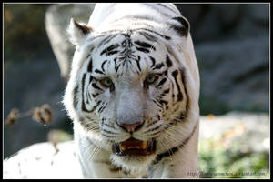 Big white daddy by AF--Photography