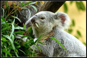 Koala Snack by AF--Photography