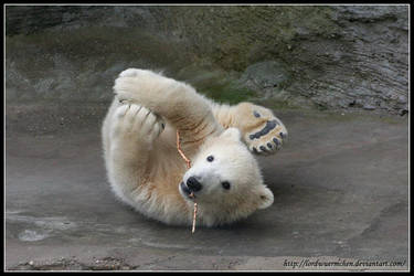 Stretching polar bear by AF--Photography