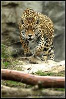Stalking Jaguar by AF--Photography