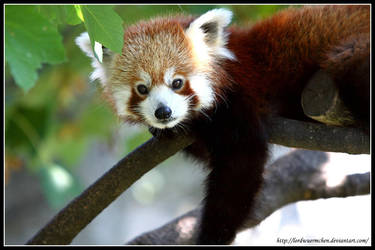 Red panda: New member by AF--Photography