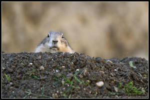 Prairie dog by AF--Photography