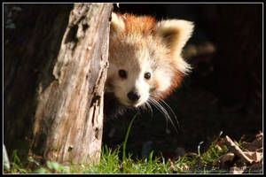 Red panda cub II by AF--Photography