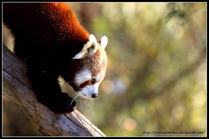 Climbing panda by AF--Photography