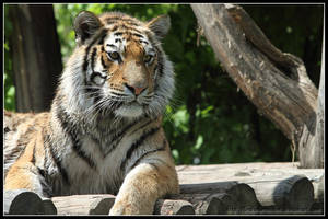 Tiger posing by AF--Photography