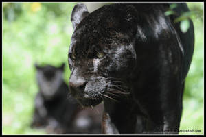 Black jaguar II by AF--Photography