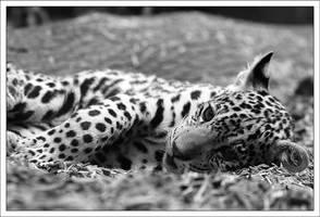Jaguars: Resting by AF--Photography