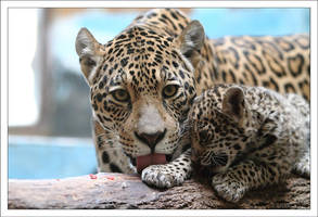 Jaguars: Protection by AF--Photography
