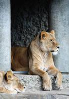Lions by wulfila