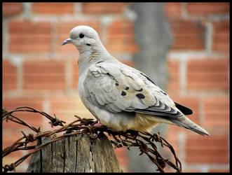 Wild Dove by LuciRamms