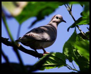 Hidden Dove by LuciRamms