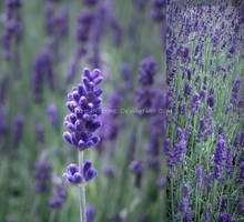 Lavender by LizHeartcore