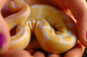 Albino Ball Python 3 by Fleischparade
