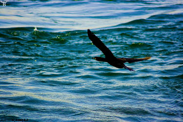 A Cormorant in Bosphorus by bulentcalli