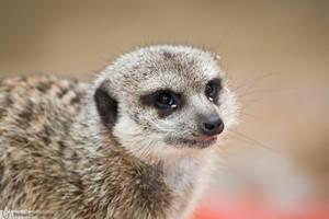 Meerkat, Amneville zoo by BKcore