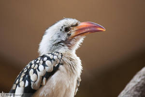 Red-billed Hornbill, Amneville zoo by BKcore