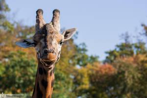 Giraffe portrait, Amneville zoo by BKcore