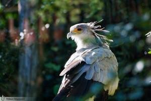Secretary Bird, Anmeville zoo by BKcore