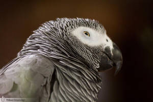 African Grey Parrot, Amneville zoo by BKcore