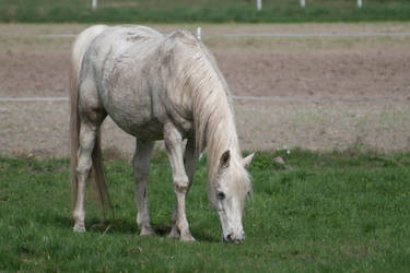 animals 11 - White Horse by oro-elui-stock
