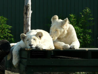 White lion cubs II by Hallarhoswen