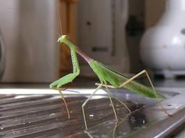Auckland Praying Mantis by Annaksunamoon