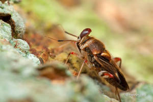 Miridae Bug by melvynyeo