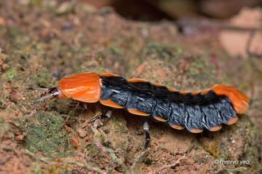 Firefly Larvae by melvynyeo