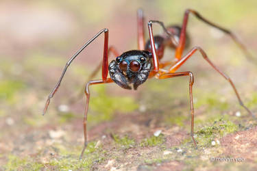 Ant-Mimicking Jumping Spider by melvynyeo
