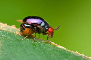 Celyphidae, Beetlefly by melvynyeo