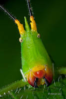 Slightly Musical Conehead Katydid? by melvynyeo
