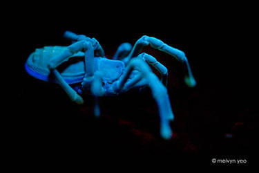 UV Fluorescence Sandokanidae by melvynyeo