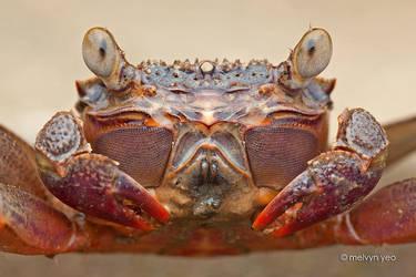 Mangrove crab by melvynyeo