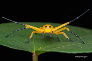 Eight Spotted Crab Spider by melvynyeo