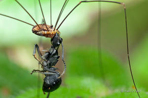 Harvestman and a dead ant by melvynyeo