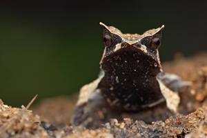 Malayan Horned Frog (Megophrys nasuta) by melvynyeo