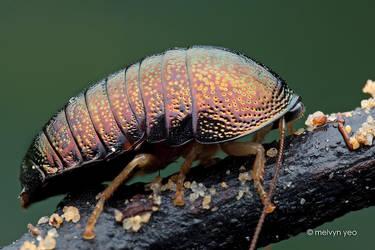 Female Perisphaerus sp. by melvynyeo