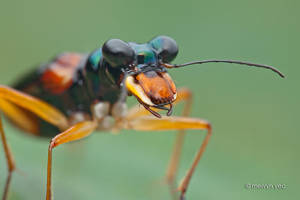 Tiger Beetle Therates sp. by melvynyeo