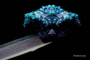 UV Bird Dung Spider (Pasilobus sp.) by melvynyeo