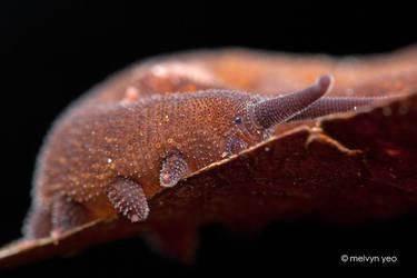 Velvet worm by melvynyeo