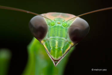 Simple Mantis Portrait by melvynyeo
