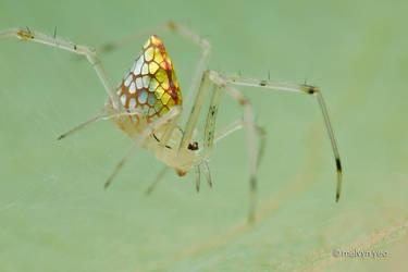 Mirror Spider Thwaitesia sp. by melvynyeo