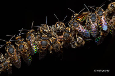 Sleeping roost of male Nomia strigata by melvynyeo