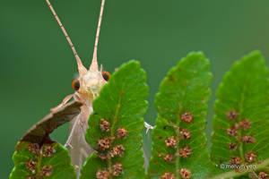 Peek-a-boo Caddisfly by melvynyeo