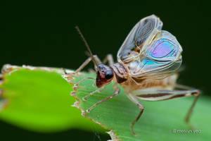A Singing Cricket Svistella sp. by melvynyeo